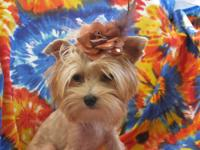 I have a beautiful gold female Yorkie, she is tiny,