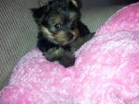 I HAVE ONE MORE YORKIE BOY LEFT THEY WENT FAST TAILS