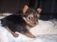 VERY SWEET LITTER OF CKC REGISTERED YORKIES AND THEIR