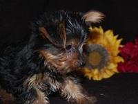 A young sweet male yorkie ! He is ready to go to a
