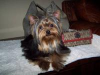 YORKIE PUPPY MALE IS 7 MONTHS OLD. PUPPY LOOKING FOR
