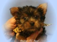 Yorkshire Terrier Pups . AKC registered. All shots up
