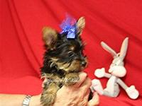 Yorkshire Terrier Pups from 2  to 7 lbs full grown. AKC