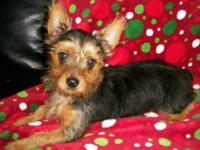 Male AKC registered Yorkie, comes with full AKC papers