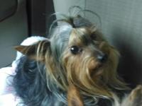 Yorkie - AKC- UTD shots - 1 year old -and full grown at