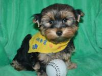 AKC Male yorkie to pet home priced. will have to do