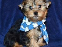 Male yorkie AKC to pet home just. will have to do with