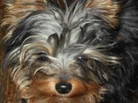 I have a yorkie for sale, he is aprox 7.5 months old,