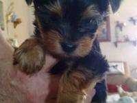 I have a male Yorkie 500. He will get about 5 lb no