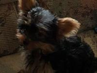 Yorkie male, small adorable little love bug. Will be