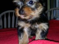 I have 2 male yorkie puppies looking for their new