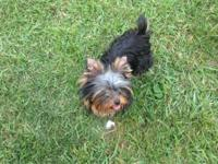 YORKIE MALE AKC 6 MONTHS OLD THREE POUNDS CHAMPION