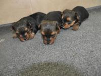LITTLE MUNCHKIN YORKIE'S HAVE 3 MALE YORKIE PUPS FOR