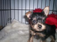 Nice boy, ears almost up! Approx adult wt 4 1/2bs. Home