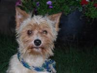 This is a 3 years of age Parti Yorkie male. He has