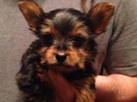 Ckc registered male pup vet checked utd on shots tail