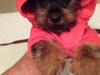 Yorkie Male Pup CKC Registered 9 weeks old Weighs 2 pds