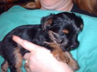 Two, purebred, male, Yorkie young puppies. Mom and Dad