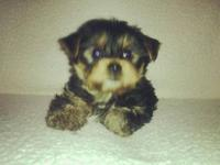 Yorkie male puppy full breed asking $650cash only No