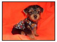 We have 1 larger male Yorkie left that will be around 8