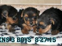 WE HAVE1 MALE YORKIE PUPS AVAILABLE. HE IS 6 1/2 WEEKS