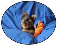Cute Little Male Yorkie with sweet baby face, He is 14