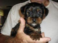 I have a very sweet; sociable male Yorkie ready to love