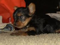 YORKIE MALE T-CUP,, 6, WEEKS, BORN APRIL 28,2015,, I