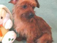 11 month old male yorkie, very sweet pal, has all shots