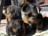 8 wk old yorkie males, Both moms and dads are 4 lbs.