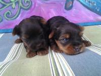 I have 2 litters just born of purebred CKC yorkie male