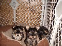 teeny tiny tea-cup yorkie/maltese aka morkie these are