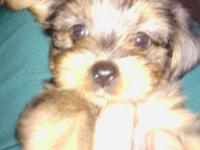 Yorkie female beautiful next 75% Yorkie 275 must sell