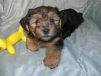 Cute Yorkie-Mix girl is ready for her brand-new home.