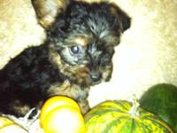 These puppies are  Yorkie and  Silky Terrier. The