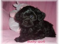 Yorkinese-poo (Yorkie/Pekingese/poodle) Family raised