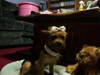 Ruby is 1 1/2 year old female yorkie. She is akc