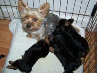 Beautiful three brothers Yorkshire Terrier. Very active