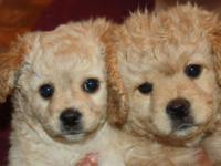 I have two priceless Yorkie Pom, Cavapoo young puppies