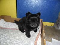 TINY BLACK FEMALE ADORABLE YORKIE -POM FIRST SHOT AND