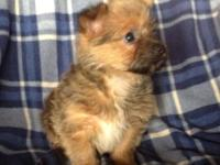 We have an 8 week old Pom yorkie looking for good home.