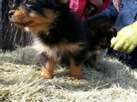 Yorkie Pom pups 10 Wks old shots and dewormed. Looking