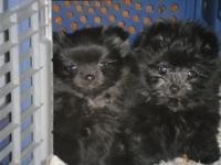 ADORABLE FEMALE BLACK TINY YORKIE POM PUPPIES 1 HAS