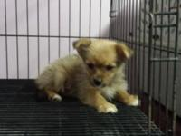 female yorkie pom / yoranian. she is 9 weeks old and