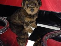 Adult female YorkiePoo needs a new home with a loving