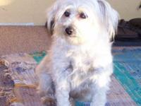 Whitey is a 5 years of age women YorkiePoo. She is