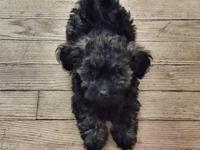 1 have 2 Yorkie Poo pups hypoallergenic 1-Female $350