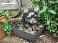 I have two tiny female yorkie/poo puppies 10 weeks old