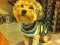 I have a male yorkie poo, he is so love able and