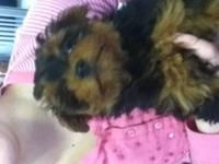 YORKIE-POO PUPPIES FOR SALE DATE OF BIRTH:FEBRUARY 13
